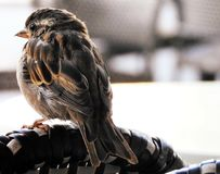 Small bird perched on a chair royalty free stock photo