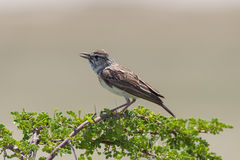 Small bird perched on a dry branch in Etosha Royalty Free Stock Photos