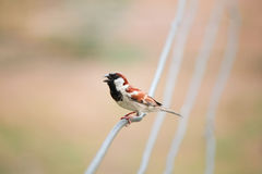 Small bird. A small bird perched on a wire Royalty Free Stock Image