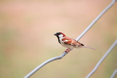 Small bird. A small bird perched on a wire Stock Images