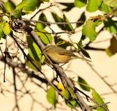 Small bird phylloscopus on plum tree Royalty Free Stock Photos