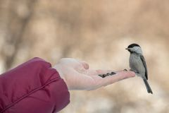 A small bird poecile montanus eats sunflower seeds from a hand i. N the forest in winter Royalty Free Stock Image
