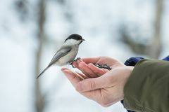 A small bird poecile montanus eats sunflower seeds from a hand i Royalty Free Stock Image