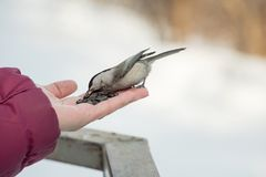 A small bird poecile montanus eats sunflower seeds from a hand i. N the forest in winter Royalty Free Stock Images