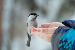 A small bird poecile montanus eats sunflower seeds from a hand i. N the forest in winter Stock Photography