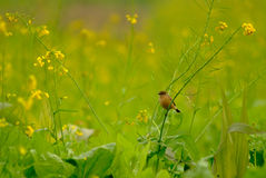A small bird in rape flowers. A small bird standing on a cole stalk Royalty Free Stock Photography