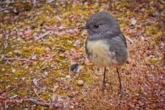 Small bird Robin is endemic from New Zealand. Small bird Robin is endemic species living in New Zealand stock photography