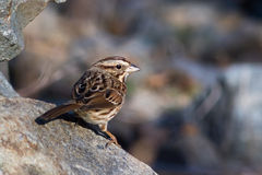 Small bird on rocks royalty free stock photography
