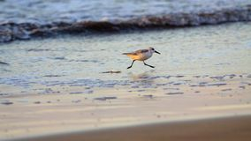 Small bird are running at water. On the beach Stock Image