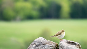 Small Bird - Siberian Chiffchaff Royalty Free Stock Photos
