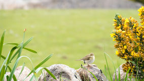Small Bird - Siberian Chiffchaff Stock Photography
