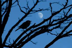 Bird and moon. A small bird sings its night song in the light of the moon royalty free stock images