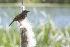 Small Bird on a Cattail Reed royalty free stock image