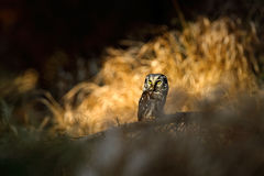 Small bird sitting on branch. Animal taken with wide angle lens. Bird in nature habitat, Sweden, Boreal owl in nature. Rare owl wi. Small bird sitting on branch royalty free stock photo