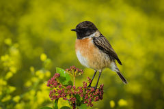 Small bird on a slim branch. Small bird on a branch with unfocused background Royalty Free Stock Photos