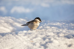 Small bird in snow Stock Image