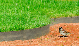 Small bird sparrow in the park on the footpath in green grass lawn Royalty Free Stock Photography