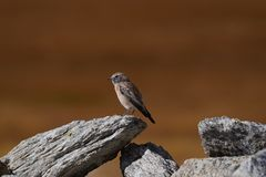 A small bird sparrow sits on the edge of a gray stone on a brown background. Small bird sparrow sits on the edge of a gray stone on a brown background Stock Photography
