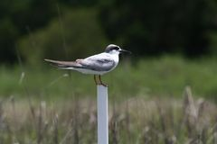 Small bird standing on pvc pipe with marsh background. Marsh background is blurred. Photo taken in Charleston South Carolina from boat royalty free stock photography