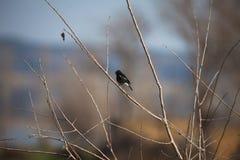 Small bird on a stem. Indian robin sparrow common purple sunbird  tree  blossom blossoms male birding nectar beak feathers stem  myna mynas pair couple  apricot royalty free stock photo