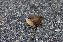 Small bird Tailorbird. Small bird Tailorbird stand on the floor, in eye with red ant, view on top stock images