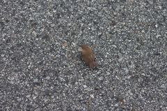 Small bird Tailorbird. royalty free stock photos