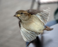 Small Bird Taking Off. Small sparrow-like bird in Vancouver just taking off Stock Photography