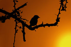Small Bird in Thorn Tree Sunset Silhouette Stock Photography