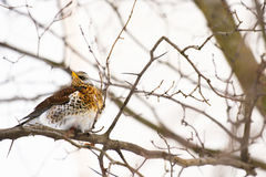 A small bird thrush. A small bird thrush is sitting on a branch of a tree in winter royalty free stock photography