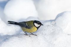 Small bird tomtit sits on snow. Small bird tomtit sits on branch in park royalty free stock image