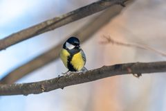 Small bird tomtit sits on snow. Small bird tomtit sits on branch in park stock photography