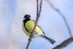 Small bird tomtit sits on snow. Small bird tomtit sits on branch in park stock image