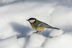 Small bird tomtit sits on snow. Small bird tomtit sits on branch in park stock photos