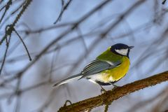 A small bird of the tomtit sits on a tree branch in the park. Close-up. Spring sunny day.  Royalty Free Stock Photography