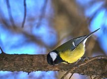 A small bird of the tomtit sits on a tree branch in the park. Close-up. Spring sunny day.  Royalty Free Stock Image