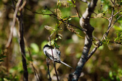 Black-Capped Chickadee Small bird in tree. Black-Capped Chickadee Small bird perched on a tree branch in a forest at Reflections Lake, Palmer Hay Flats Alaska stock images