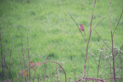 Small bird on a twig against a green field Stock Images