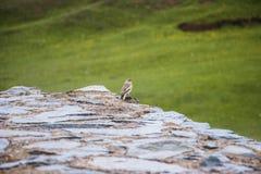 Small bird under the rain. Small wet bird sits on a stone under the rain, tash-rabat, naryn region, kyrgyzstan Stock Photos
