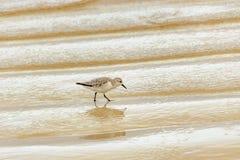 Free Small Bird Walking At Shore Of Beach, Galapagos, Ecuador Stock Photography - 97413402