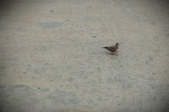 The small bird that is walking on the road. The small bird that is walking on the road stock photos