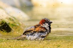 Small bird in water Royalty Free Stock Image
