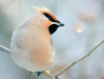 Small bird waxwing Stock Photo