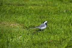 A small bird, White wagtail, standing in the grass. royalty free stock images