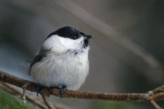 A small bird is a willow tit sitting on a branch Royalty Free Stock Images