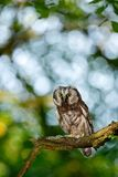 Small bird in the wood. Boreal owl, Aegolius funereus, sitting on the tree branch in green forest background. Owl hidden in green Stock Photography