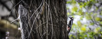 A small bird is a woodpecker. In the branches of a tree Royalty Free Stock Images