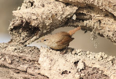 A small bird the Wren is sitting on the root of the tree in the Stock Images