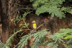 Small bird with yellow color crown perching on a tree twig royalty free stock photo