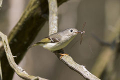 Small bird with yellow wings catching inset prey in its beak in the forest Stock Photography