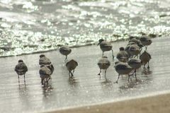 Small birds. A bunch of Small birds at the beach shore Royalty Free Stock Images